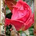 Prenez cette rose************