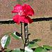 A Wall Flower?