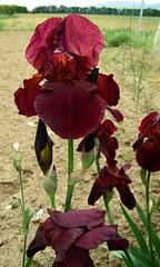 Iris grenat
