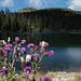 Cirsium arvense, Canada