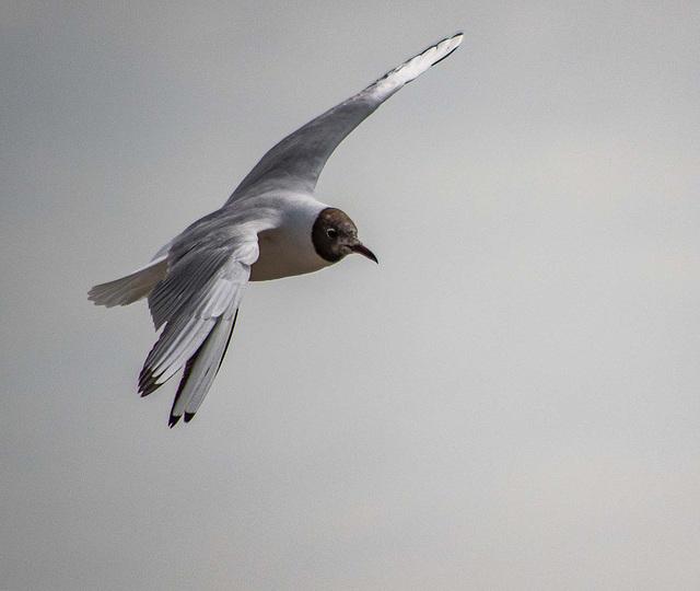 Gull in flight2