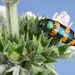 Castiarina sp. cf. viridissima, PL3594A