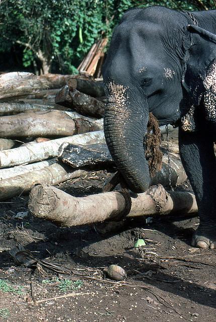 Arbeitselefant an der Arbeit Sri Lanka 1982