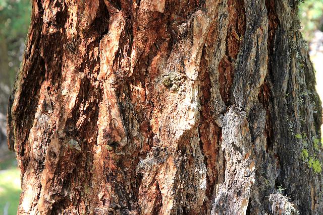 Rinde eines alten Lärchenbaums