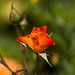 20140801 4445VRAw [D~E] Rose, Gruga-Park, Essen