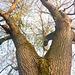 Alter Baum im Frühling - maljuna arbo en printempo