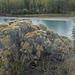 Chrysothamnus viscidiflorus, Canada L1010300