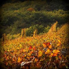 la vigne en Or...