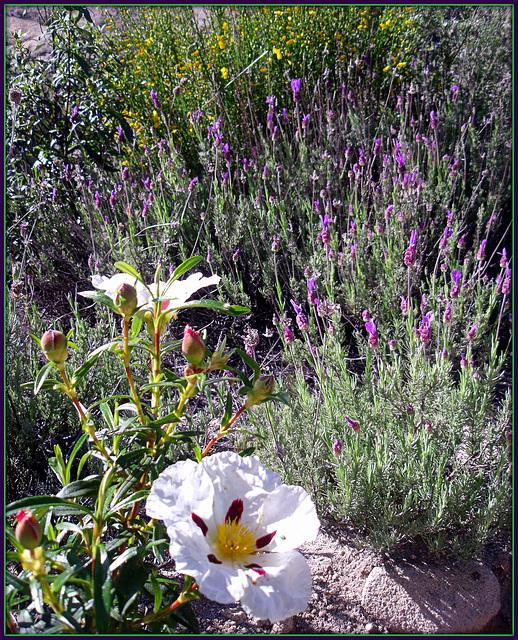 Cistus, lavender and broom.