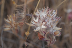 Trifolium stellata, Thirsty Land Poetry