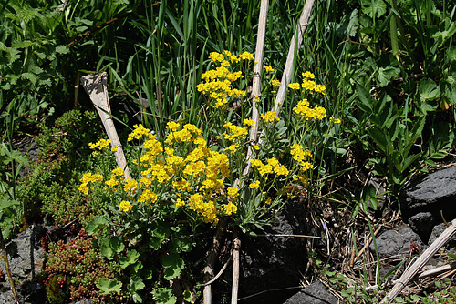 Aurinia saxatilis- Alysse