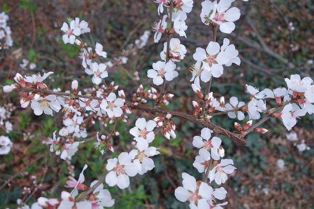 Berry bush in Blossom