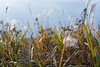 Dry weeds in fall