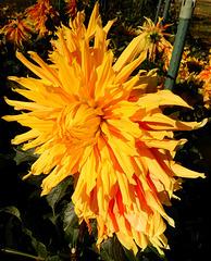 Dahliengarten 13  Autumne Sunburst