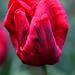 Tulip  259 copy