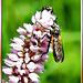 Schwebfliegen (Hoverfly). ©UdoSm