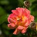 20140801 4446VRAw [D~E] Rose, Gruga-Park, Essen