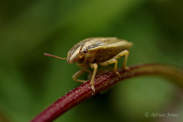Aelia acuminata (Bishops Mitre Shieldbug)