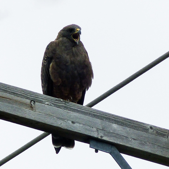 Swainson's Hawk female, dark-phase
