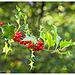 Berries and Bokeh