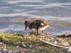 oaw - duckling 2