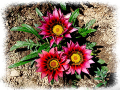 Dites-le avec des fleurs: le Gazania... [ON EXPLORE] Touche Z