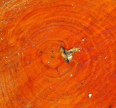 Jahresringe der  Rot-Erle - (2 x PiP)