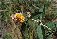 Buddleja x weyeriana 'Sungold', Buddleia jaune (1)