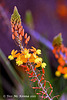 Asphodelaceae Bilbine Caulescens 254