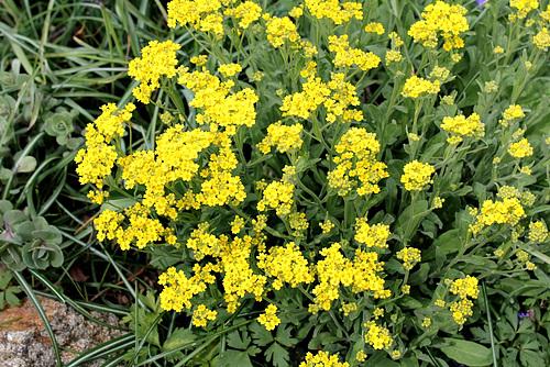 Aurinia saxatilis -Alysse