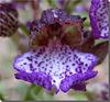 Orchis purpurea - détail