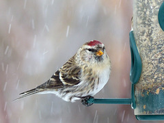 Common Redpoll in falling snow