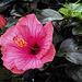 Red Hibiskus Bloom