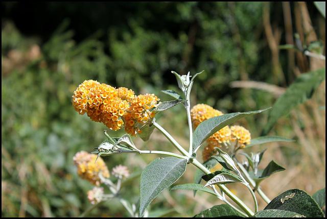 Buddleja x weyeriana 'Sungold', Buddleia jaune (2)