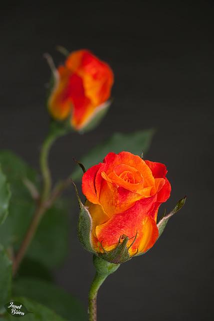 348/366: Orange & Peach Rose