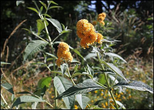 Buddleja x weyeriana 'Sungold', Buddleia jaune (3)