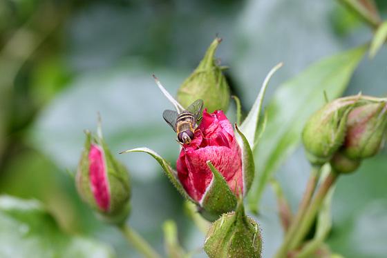 abeille sur rosier