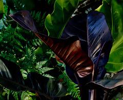 IMG 0375 Philodendron cardinal au soleil couchant