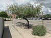 I *think* what I was seeing this day in Tucson was: a honey mesquite (the tree) and a velvet mesquite (the shrub).