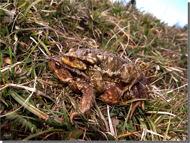 Bufo bufo spinosus - Accouplement.