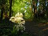 Allium Ursinum( Daslook)