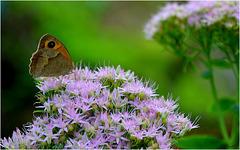 Un petit papillon ...