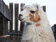 The white Llama
