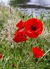Corn Poppies, Levengrove Park, Dumbarton