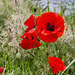 Corn Poppies, Levengrove Park, Dumbarton