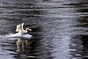 Mute Swan, River Leven, Dumbarton