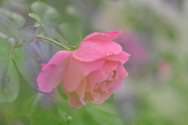 Lavendel Rose