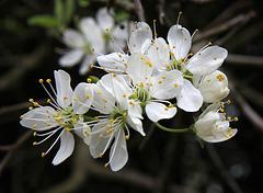 Damson Blossom