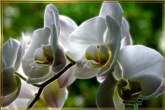 Orchideen im Abendlicht. Orchids in the evening light. ©UdoSm