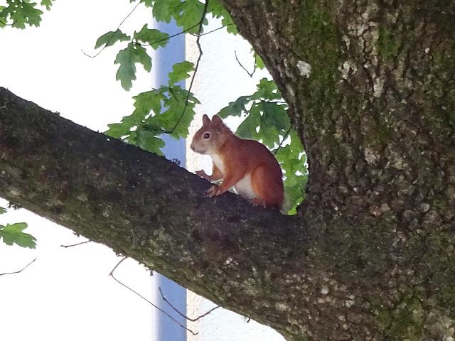 glücks-eichhörnchen
